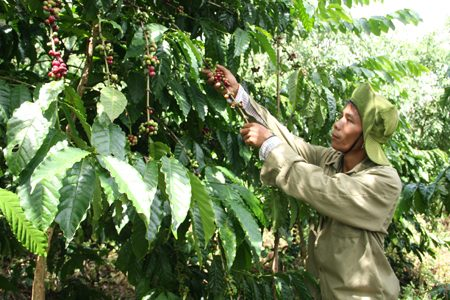 """Nỗi buồn người trồng cà phê Tây Nguyên """"Được giá mất mùa, được mùa mất giá"""""""