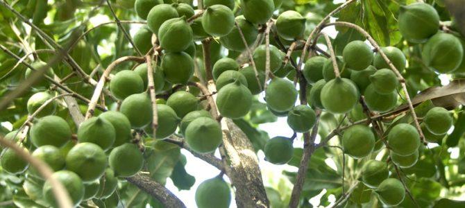 kỹ thuật trồng và chăm sóc giống cây mắc ca