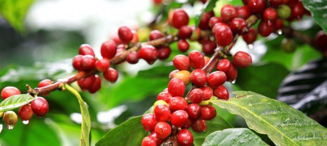 Giá nông sản hôm nay 28.11: Giá cà phê Robusta tiếp đà giảm mạnh, giá tiêu ổn định