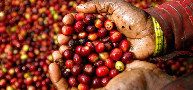 Giá nông sản hôm nay 7/2: Giá cà phê đồng loạt tăng 400 đồng/kg, giá tiêu ít biến động